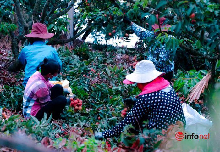Bắc Giang: Nửa đêm bật dậy đi hái vải, điểm thu mua tắc dài cả cây số - ảnh 2
