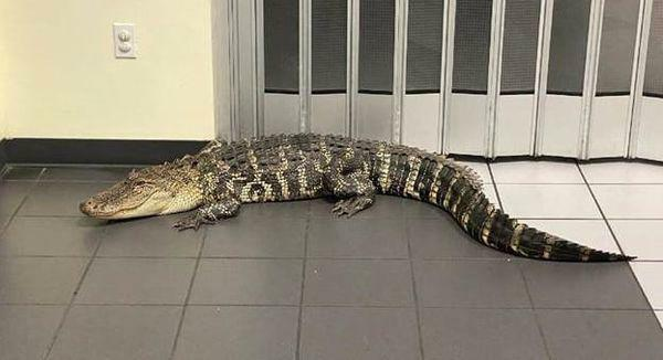 Cá sấu xâm nhập bưu điện, gấu đen mắc kẹt trên trần nhà máy ở Mỹ - ảnh 1