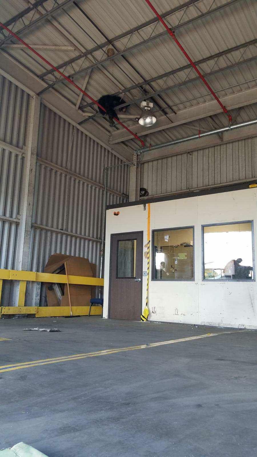 Cá sấu xâm nhập bưu điện, gấu đen mắc kẹt trên trần nhà máy ở Mỹ - ảnh 2