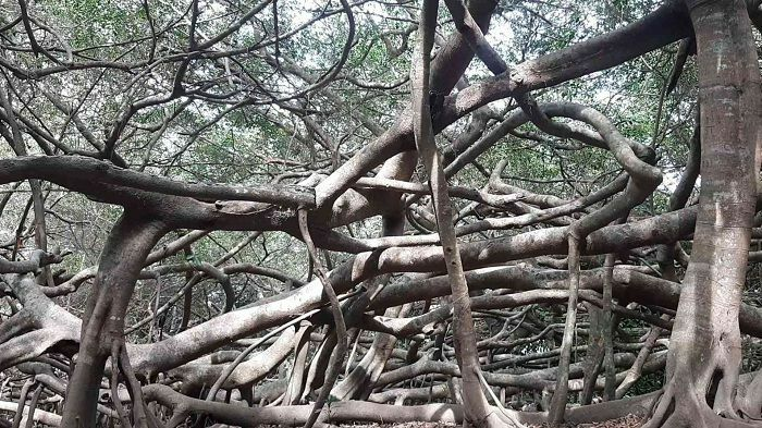 Khu di tích Giàn Gừa Cần Thơ – điểm đến với vẻ đẹp ma mị như mê cung của đất Tây Đô - ảnh 10