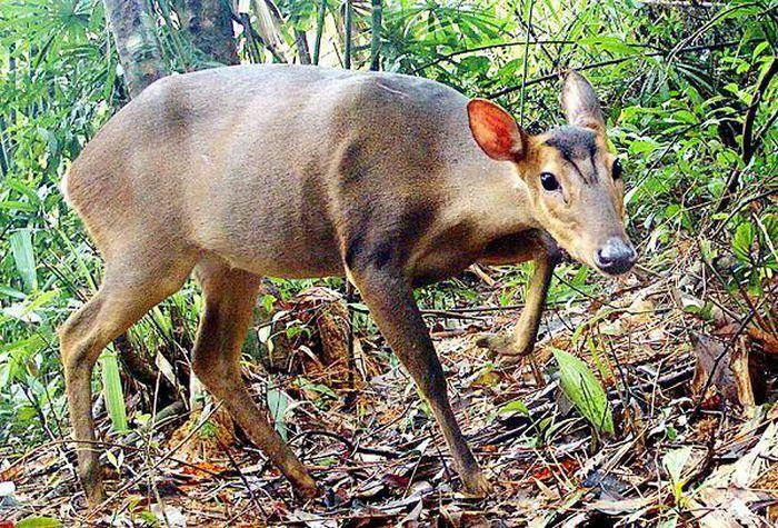 Bẫy ảnh ''tóm'' nhiều động vật hiếm thấy ở Thừa Thiên - Huế - ảnh 4