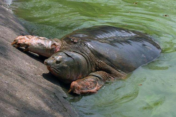 Băn khoăn đi tìm hậu duệ rùa Hồ Gươm - ảnh 1