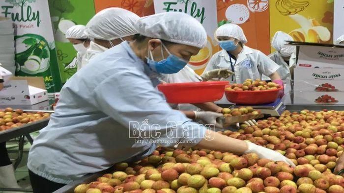 Bắc Giang: Xuất khẩu vải thiều sang châu Âu - ảnh 1