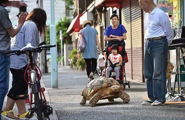 Ông lão người Nhật nuôi con rùa nặng 70kg, quãng đường 5 phút đi mất 3 tiếng: Sống chậm lại, cuộc đời quả thực đáng yêu hơn bạn nghĩ - ảnh 5