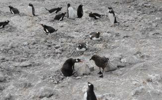 Chim cướp biển tấn công cánh cụt mẹ để ăn thịt con non, kết cục đáng thương - ảnh 1