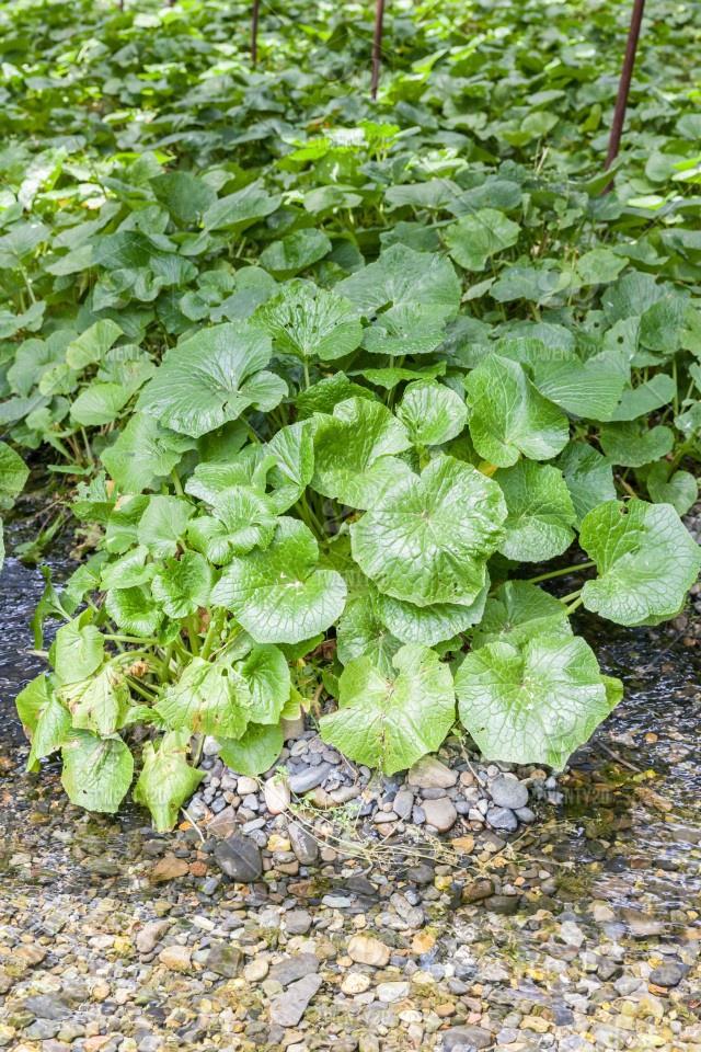 Trang trại trồng ''wasabi thật'' lớn nhất Nhật Bản - ảnh 2