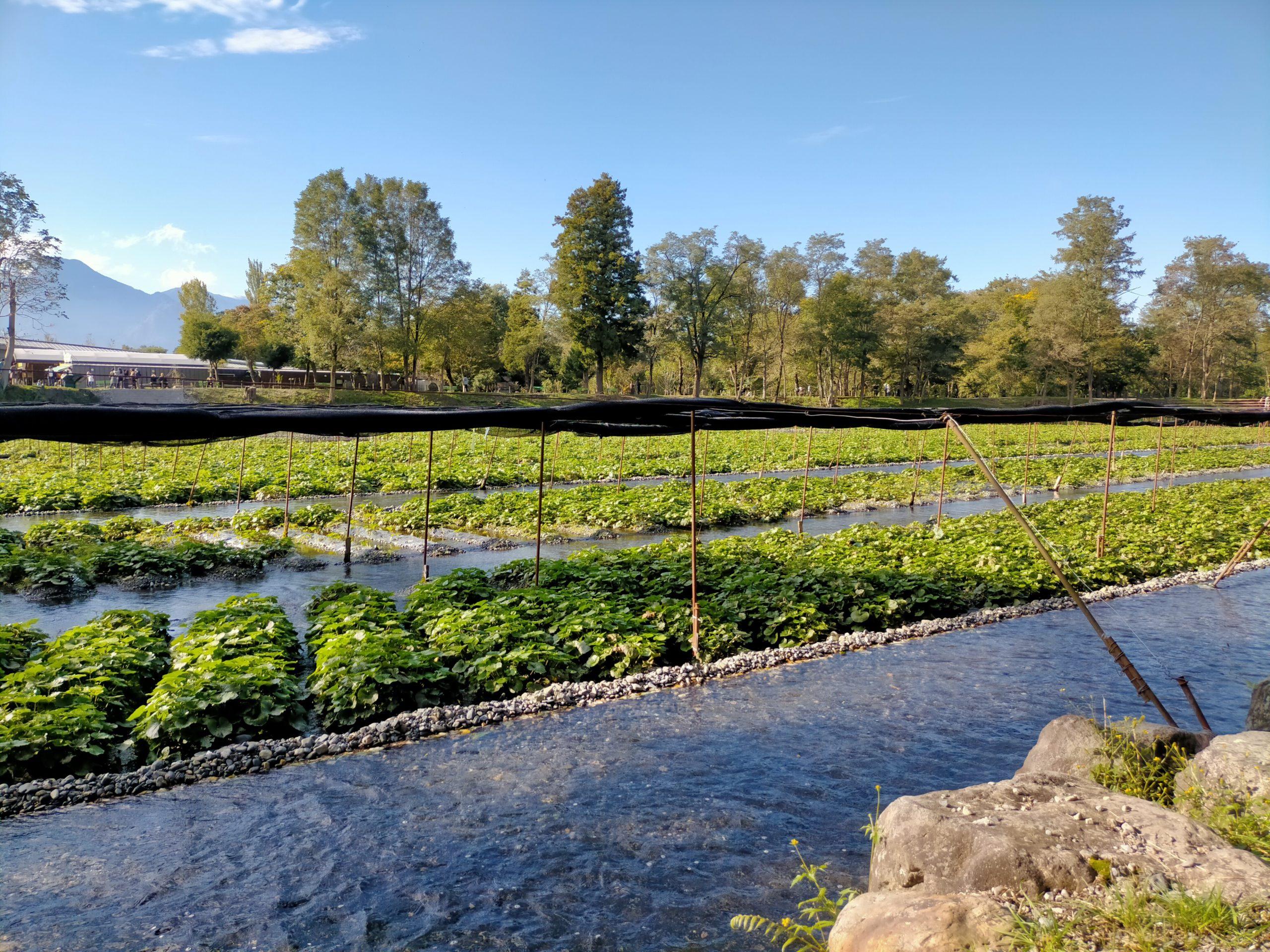 Trang trại trồng ''wasabi thật'' lớn nhất Nhật Bản - ảnh 6