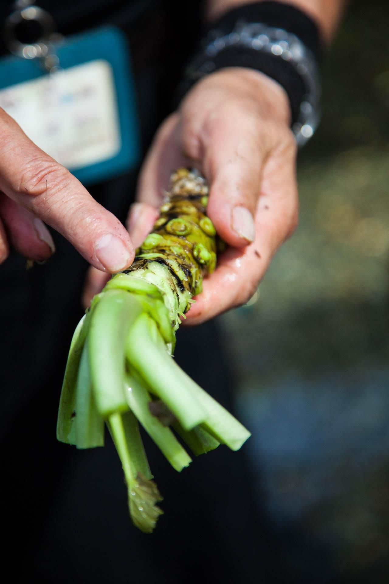 Trang trại trồng ''wasabi thật'' lớn nhất Nhật Bản - ảnh 10