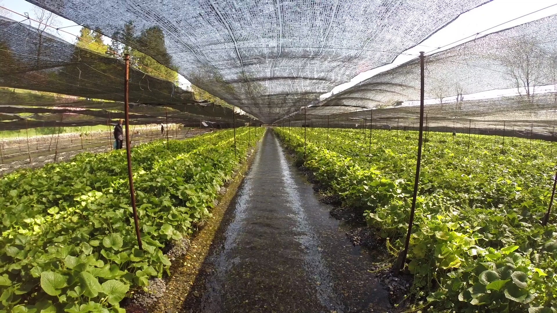 Trang trại trồng ''wasabi thật'' lớn nhất Nhật Bản - ảnh 8