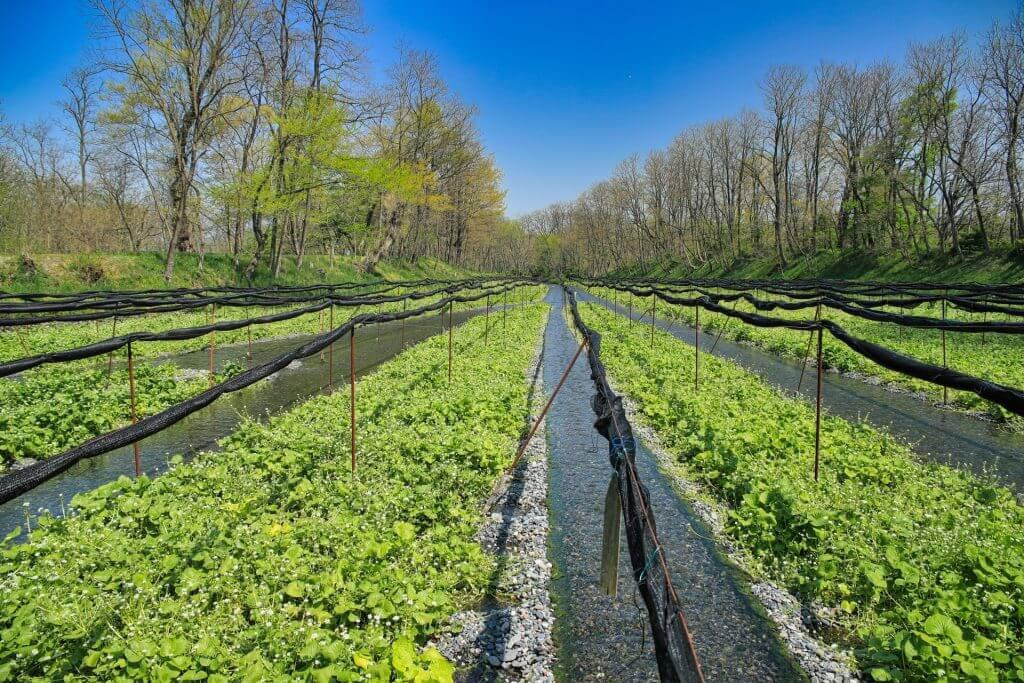 Trang trại trồng ''wasabi thật'' lớn nhất Nhật Bản - ảnh 4