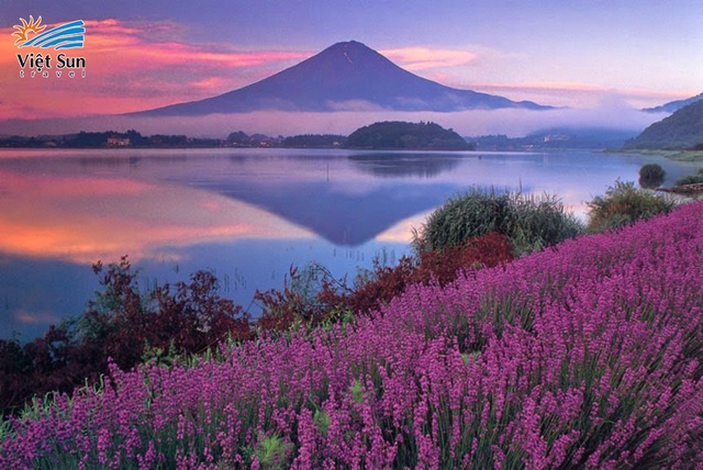 Ngắm hoa oải hương ngút ngàn dưới chân núi Phú Sĩ - ảnh 2