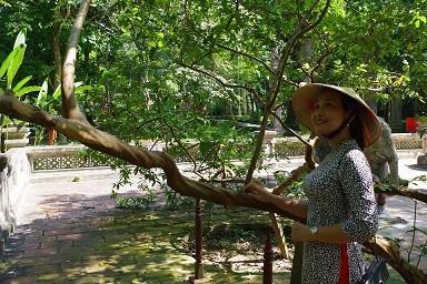Chuyện kỳ bí về 'cây lim hoá thân' và 'cây ổi cười' ở đất thiêng Lam Kinh - ảnh 6