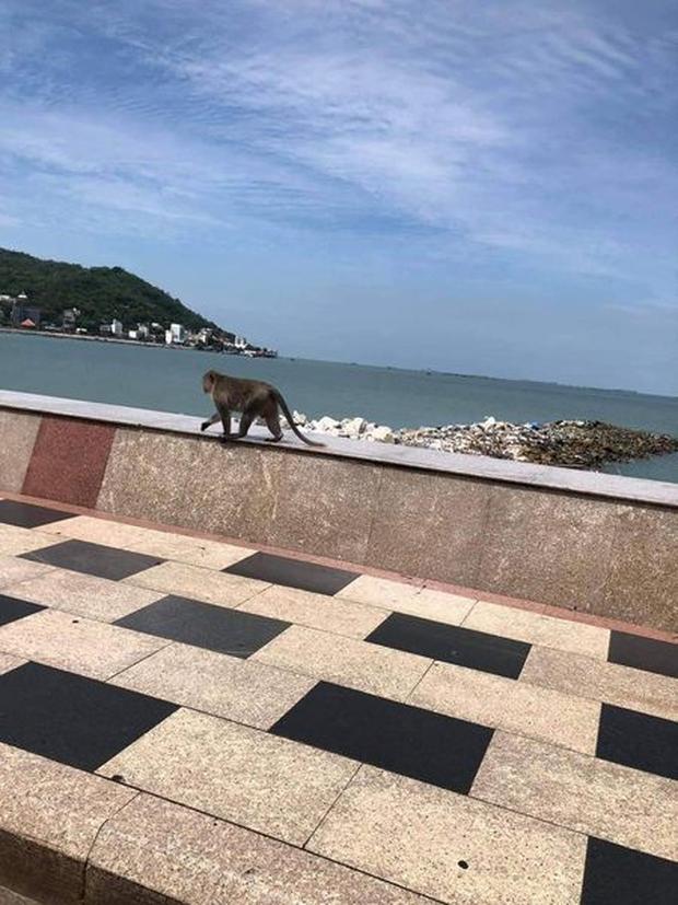 Khỉ Vũng Tàu đói quá, mò xuống đường kiếm ăn bị điện giật chết - ảnh 3