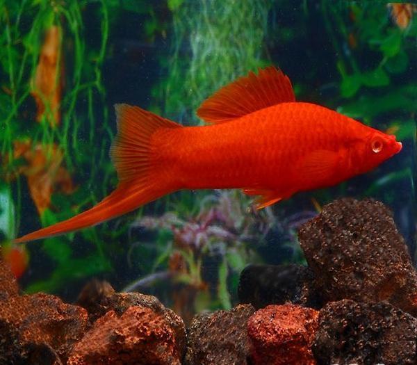 10 loại cá cảnh cực dễ nuôi, vừa đẹp lại còn thu hút tài lộc cho gia chủ - ảnh 9