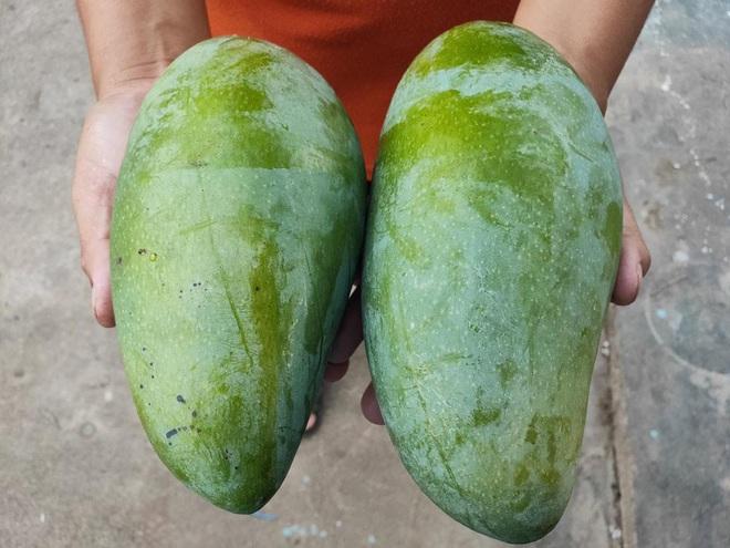 Gia đình kiếm bộn tiền nhờ giống xoài cho trái khổng lồ - ảnh 3
