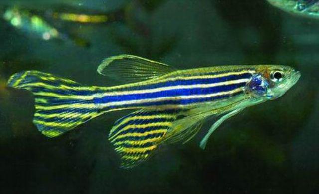 10 loại cá cảnh cực dễ nuôi, vừa đẹp lại còn thu hút tài lộc cho gia chủ - ảnh 17