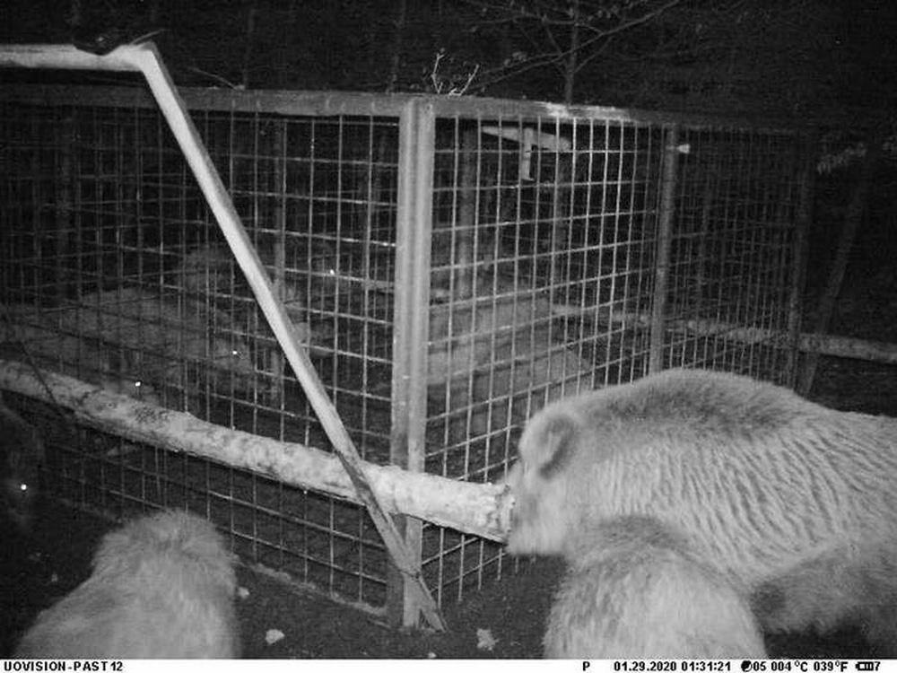Thấy con non mắc bẫy, lợn rừng mẹ làm ra hành động khiến các nhà nghiên cứu cũng choáng váng - ảnh 3