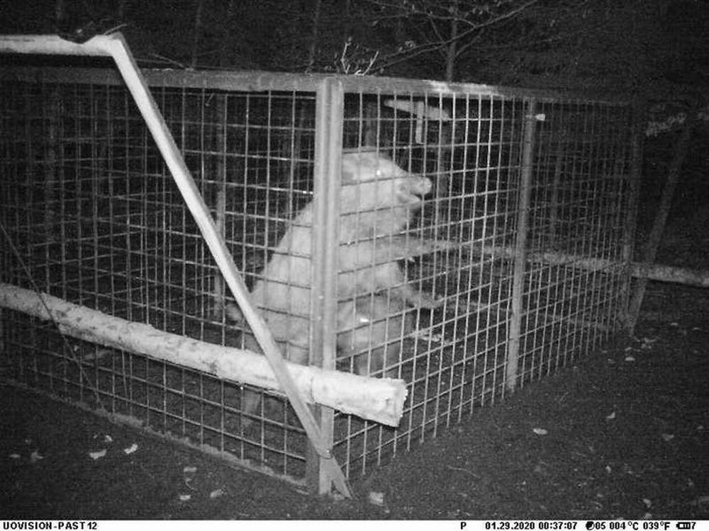 Thấy con non mắc bẫy, lợn rừng mẹ làm ra hành động khiến các nhà nghiên cứu cũng choáng váng - ảnh 2