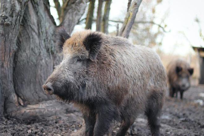 Thấy con non mắc bẫy, lợn rừng mẹ làm ra hành động khiến các nhà nghiên cứu cũng choáng váng - ảnh 1
