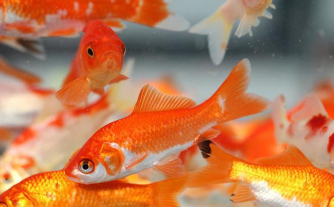 10 loại cá cảnh cực dễ nuôi, vừa đẹp lại còn thu hút tài lộc cho gia chủ - ảnh 6