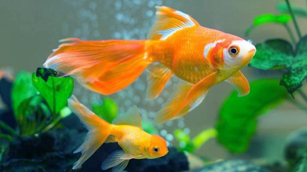 10 loại cá cảnh cực dễ nuôi, vừa đẹp lại còn thu hút tài lộc cho gia chủ - ảnh 5