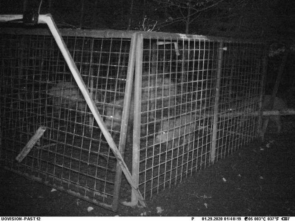 Thấy con non mắc bẫy, lợn rừng mẹ làm ra hành động khiến các nhà nghiên cứu cũng choáng váng - ảnh 5
