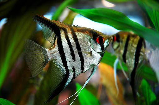 10 loại cá cảnh cực dễ nuôi, vừa đẹp lại còn thu hút tài lộc cho gia chủ - ảnh 11