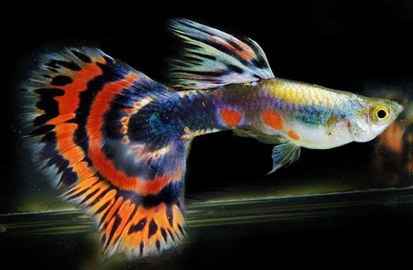 10 loại cá cảnh cực dễ nuôi, vừa đẹp lại còn thu hút tài lộc cho gia chủ - ảnh 1