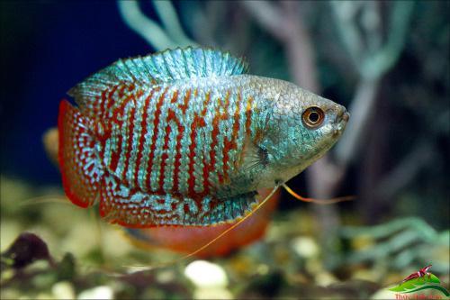 10 loại cá cảnh cực dễ nuôi, vừa đẹp lại còn thu hút tài lộc cho gia chủ - ảnh 26