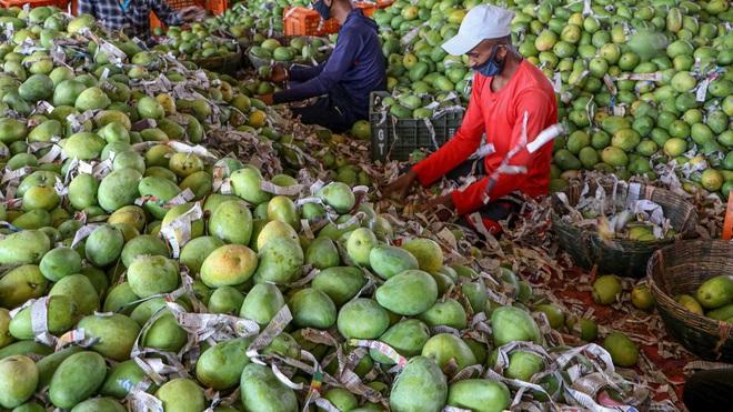 Gia đình kiếm bộn tiền nhờ giống xoài cho trái khổng lồ - ảnh 4
