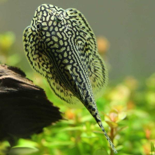 10 loại cá cảnh cực dễ nuôi, vừa đẹp lại còn thu hút tài lộc cho gia chủ - ảnh 12