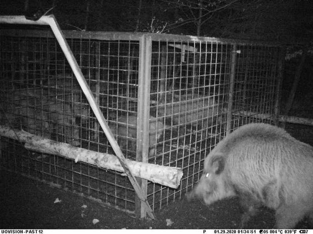 Thấy con non mắc bẫy, lợn rừng mẹ làm ra hành động khiến các nhà nghiên cứu cũng choáng váng - ảnh 4