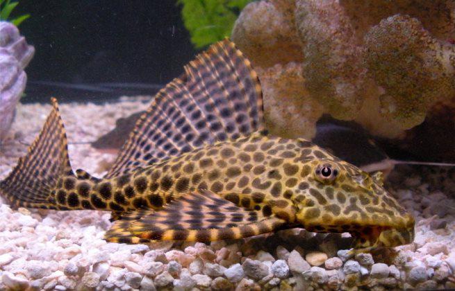 10 loại cá cảnh cực dễ nuôi, vừa đẹp lại còn thu hút tài lộc cho gia chủ - ảnh 13
