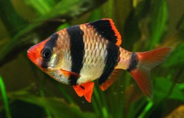 10 loại cá cảnh cực dễ nuôi, vừa đẹp lại còn thu hút tài lộc cho gia chủ - ảnh 24