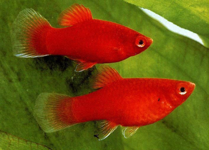 10 loại cá cảnh cực dễ nuôi, vừa đẹp lại còn thu hút tài lộc cho gia chủ - ảnh 19