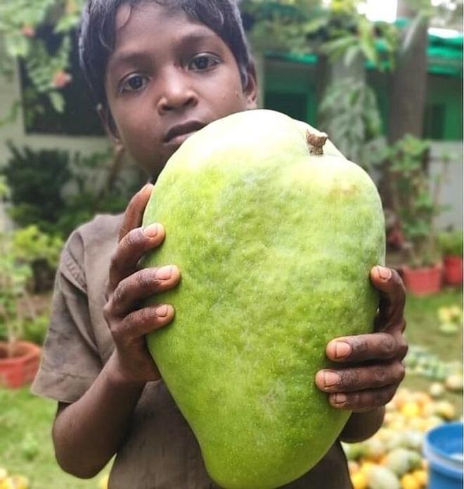 Gia đình kiếm bộn tiền nhờ giống xoài cho trái khổng lồ - ảnh 2