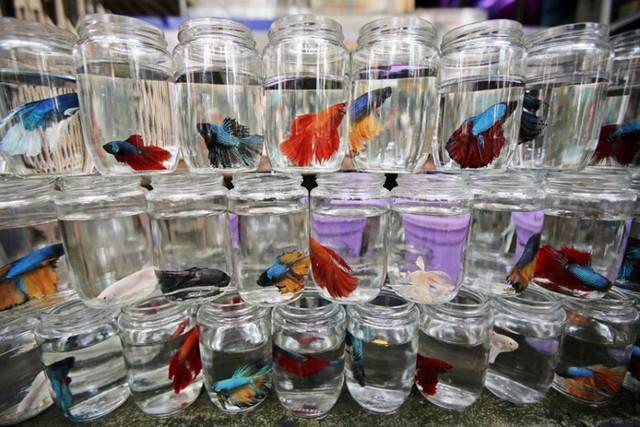 10 loại cá cảnh cực dễ nuôi, vừa đẹp lại còn thu hút tài lộc cho gia chủ - ảnh 23