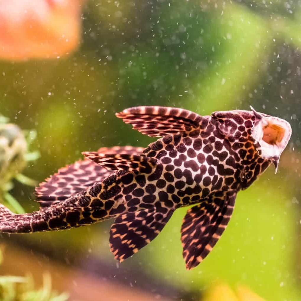 10 loại cá cảnh cực dễ nuôi, vừa đẹp lại còn thu hút tài lộc cho gia chủ - ảnh 14