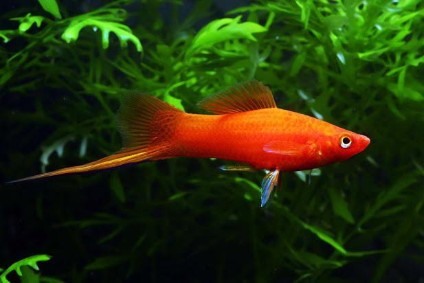 10 loại cá cảnh cực dễ nuôi, vừa đẹp lại còn thu hút tài lộc cho gia chủ - ảnh 8