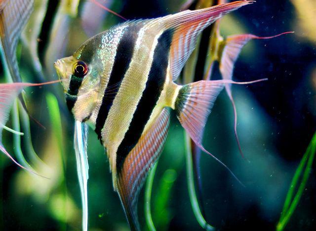 10 loại cá cảnh cực dễ nuôi, vừa đẹp lại còn thu hút tài lộc cho gia chủ - ảnh 10
