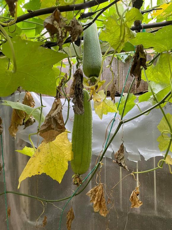 Ngắm vườn rau 350 m2 của ca sĩ Quách Thành Danh ở Mỹ - ảnh 4