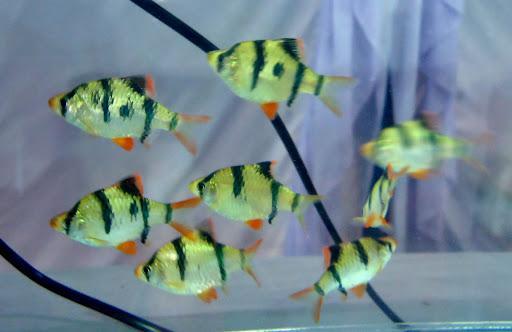 10 loại cá cảnh cực dễ nuôi, vừa đẹp lại còn thu hút tài lộc cho gia chủ - ảnh 25