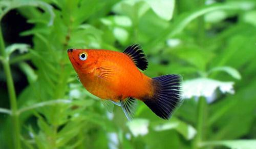 10 loại cá cảnh cực dễ nuôi, vừa đẹp lại còn thu hút tài lộc cho gia chủ - ảnh 20