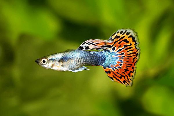10 loại cá cảnh cực dễ nuôi, vừa đẹp lại còn thu hút tài lộc cho gia chủ - ảnh 3