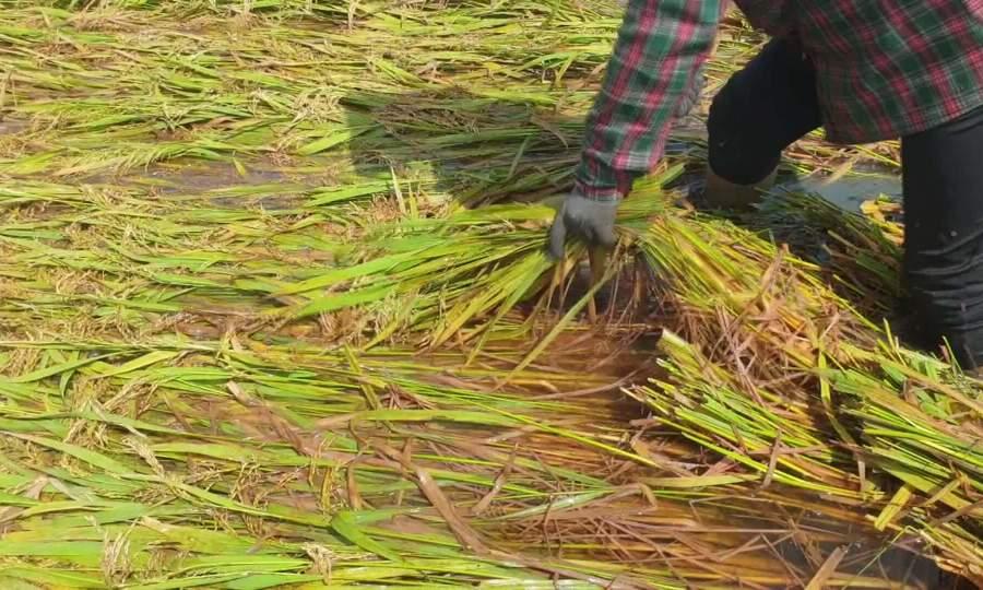 Nông dân gặt lúa sau bão Côn Sơn - ảnh 13