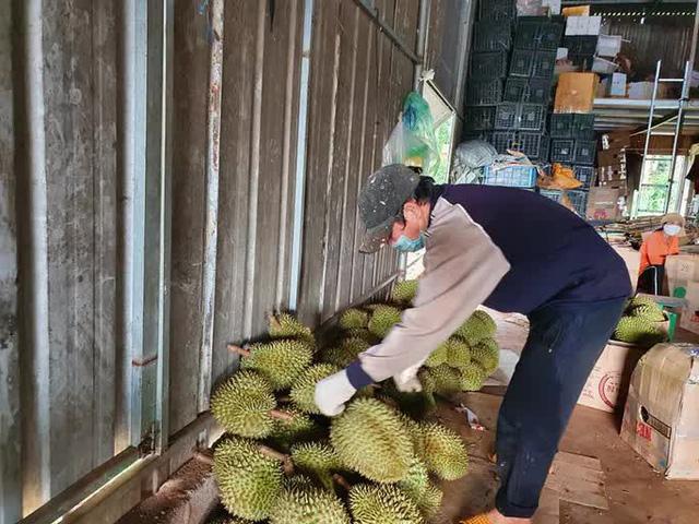 Chính quyền huyện gỡ vướng vụ tạm dừng mua bán sầu riêng, bơ khi đang thu hoạch - ảnh 1