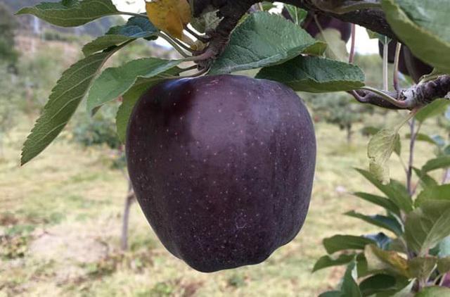 Tận mục giống táo ví như 'kim cương đen', nửa triệu đồng/quả - ảnh 3