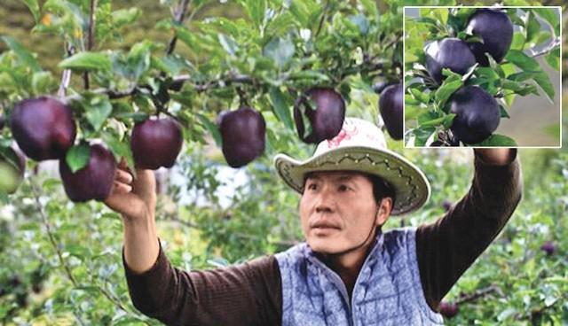 Tận mục giống táo ví như 'kim cương đen', nửa triệu đồng/quả - ảnh 5