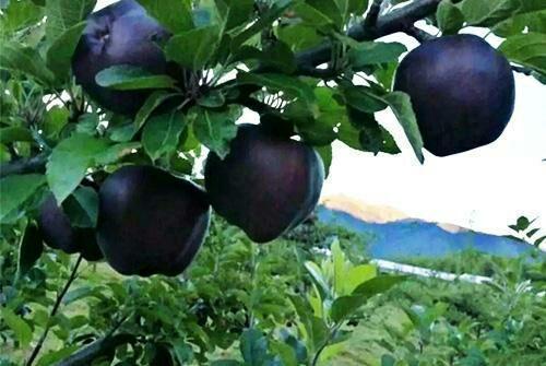 Tận mục giống táo ví như 'kim cương đen', nửa triệu đồng/quả - ảnh 4