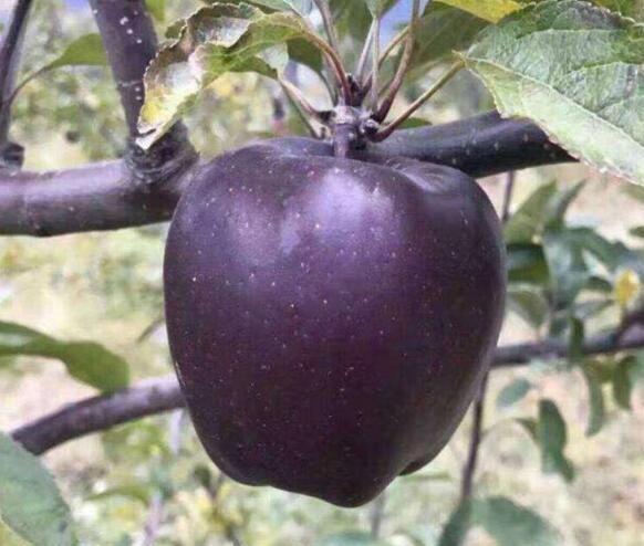 Tận mục giống táo ví như 'kim cương đen', nửa triệu đồng/quả - ảnh 9